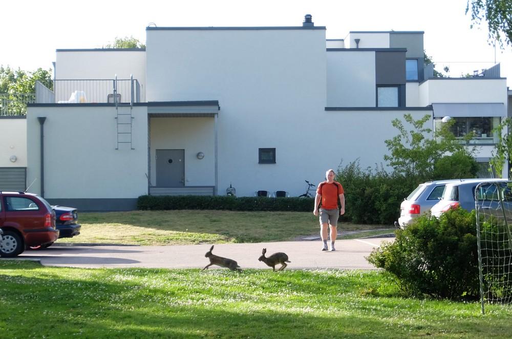 зайцы в Швеции, Вестерос