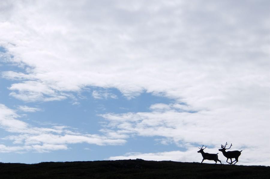 северные олень